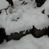 雪が積もりました。地植えで雪の下になった多肉植物はどうなるのか検証してみます。