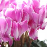 冬におすすめ人気のお花ランキングTOP3を発表!シクラメンはランクインなるか?