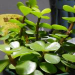 銀杏木(イチョウギ)って多肉植物を発見!初めて見たので購入したら説明書きにワロタ。