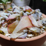多肉植物を断捨離!高砂の翁とお別れする理由と、捨てられなくなった現実。