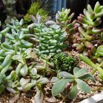冬の多肉植物をまとめて断捨離!寄せ植えを作って小鉢を片付けることに成功!