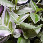 トラデスカンチアの育ち方が半端ない!芽の出る位置と簡単な増やし方を紹介します。