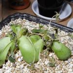 多肉植物の凍傷、冷害は時間差で来る!種類を問わず出る症状と状態を画像で紹介。