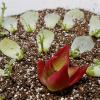多肉植物の葉挿しはどれくらいで芽が出る?発芽や発根を早める発根促進剤にご用心。