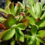 多肉植物の紅葉の色が覚めてくる?知っておきたい多肉植物の春の過ごし方。