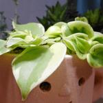 おすすめ多肉植物!ペペロミアセルペンスの育て方。鉢からあふれる生命力の持ち主です。