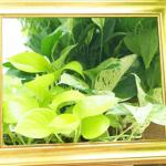 ポトスは増える観葉植物!枯れずにどんどん葉っぱが増える様子を画像で解説します。