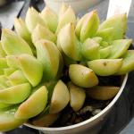 多肉植物の葉っぱトラブル続出する春夏!葉っぱの変色、黒点、黒斑への予防の対策とは?