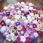 雪割草の価格が高くてビックリ!値段に差がある理由とよい花はどこできまるのか?