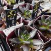 多肉植物のブラックプリンス「黒助」の育て方。まっ黒な葉っぱは3色に紅葉します。