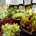 秋におすすめの多肉植物トップ5と育て方をまとめて紹介!実際に育てたものから選んでみた。