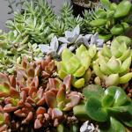 はじめて多肉植物の寄せ植えを作ってみた!作ってわかった上手に見せる3つのポイント。