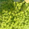 多肉植物は雑草対策にも効果的!グランドカバーのセダムで黄金のプチガーデン!