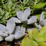 クールな青色の多肉植物、蒼星がカッコイイ!知らないと葉が落ちるグラプトペタルムの育て方