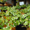 春の観葉植物、斑入りのプミラがとってもきれい!上手に育てる3つのポイント。