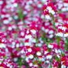 春のかわいいお花特集!ネメシアの育て方とお手入れのポイントを紹介します。