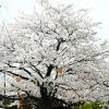 新潟は桜が満開!桜が咲くと天気が悪くなるって本当なのか調べてみた結果が意外だった。