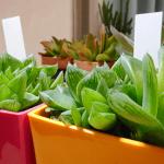 ハオルチアの成長速度が気になる!水耕栽培での育ち方も含めて情報をシェアします。