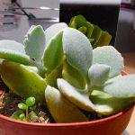 ふさふさ不思議な多肉植物ミロッティーと再会!知らなかった超繁殖力を引き出す育て方。