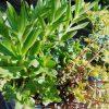 多肉植物の梅雨対策。育ちすぎや茂り過ぎは放っておくとトラブルが起こりやすくなります。