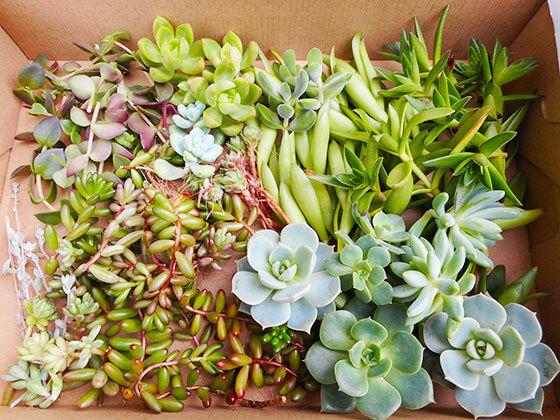 多肉植物、挿し木、カット苗