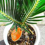 夏らしさ満点の観葉植物ソテツで運気アップ。育て方も簡単でグリーンインテリアにおすすめ!