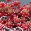 紅葉が鮮やかな多肉植物。きれいに紅葉させる育て方の3つのコツ