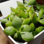 多肉植物の葉っぱがベタついているのは病気か根腐れ?梅雨の被害なのかと心配でなりません。