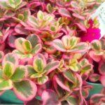 夏の暑さもへっちゃら!マジカルキューティーの育て方。モリモリ増える斑入りピンクな多肉植物。