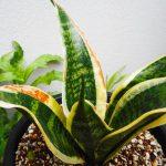 観葉植物の葉っぱが茶色や黒くなった!葉焼けは短時間の日光浴でも起こることがあります。