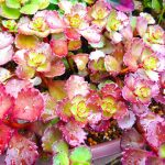 赤い葉っぱがあふれるドラゴンズブラッドの育て方。訳あり苗が元気に復活した秘密をお話します。