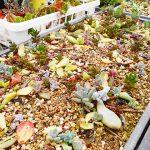 無理は禁物!多肉植物の葉挿し、挿し木、カット苗で失敗する理由と勘違い。