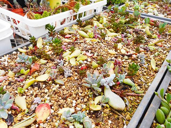 多肉植物の葉挿しトレー