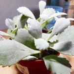 白銀の舞(カランコエ・プミラ)の育て方。シルバーリーフにピンクの花咲くとっても珍しい多肉植物。