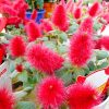 ネコのしっぽがいっぱいに咲く!キャットテールの育て方。ふっさふさな赤い花を鉢いっぱいにするコツ。