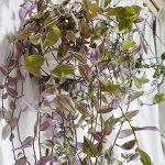 室内でもぐんぐん育つトラデスカンチア!鉢からあふれて綺麗とか言っていられないレベルになりました。