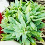 ギュウギュウに大きくなる多肉植物クサンチ。育て方のポイントと3つの特徴があります。