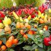 夏のイチオシ!超カラフルな五色トウガラシの育て方。つやつやで綺麗な実がわんさかあふれて楽しい!
