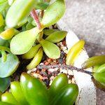 多肉植物の夏被害を画像で解説!葉っぱと茎が軟らかくなってきたら要注意です。