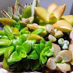 ワンコインで多肉植物の寄せ植えを買ってみた!超お買得な当たり苗と葉挿しのおまけにビックリ!