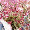 多肉植物の乙姫さまクーペリーの育て方。ちいさなお花がいっぱいに咲くけど、気難しい一面もあります。