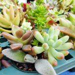 100均の多肉植物もバッチリ!本当に良く育った多肉植物TOP5を発表。