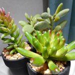 100均ダイソーの多肉植物がインテリアにピッタリ!水やり不要で楽しめるおすすめがあります。