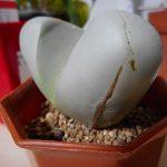 アルギロデルマという多肉植物をもらった!育て方のコツは葉っぱにヒビを入れないこと。