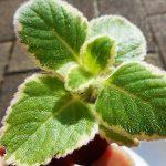 大人な香りの多肉植物ミントリーフ。モリモリ茂る育て方と増やし方のコツを紹介します。