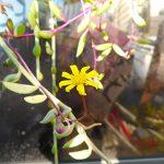 多肉植物に花が咲いた!はじめての体験に大感激。滅入った気持ちに最高のエールをもらえた。