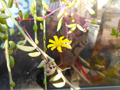 多肉植物、ルビーネックレスの花