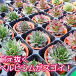 冬にチャレンジ!寒さに強い多肉植物センペルビウムは新潟の冬も乗り切ります。