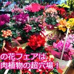 多肉植物は冬の花イベントが超お買い得!クリスマスやギフトフェアで安く購入する方法を紹介。