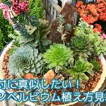 お手本にしたい多肉植物の植え方!新潟のセンペルビウムにプロの技が光った!